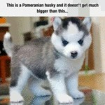 This Is A Pomeranian Husky And It Doesn't...