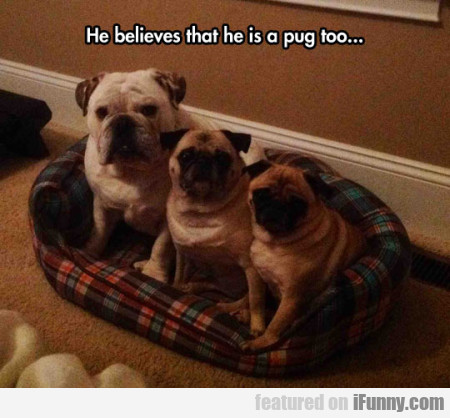 He Believes That He Is A Pug Too...