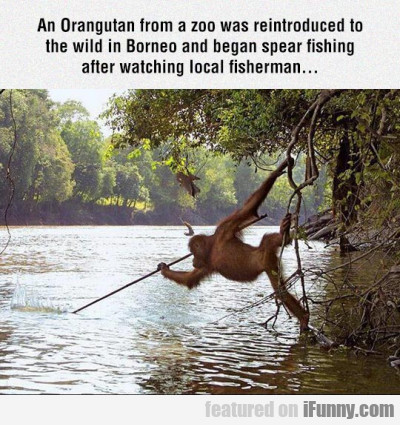 An Orangutan from a zoo was reintroduced to...