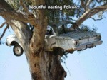 Beautiful Nesting Falcon...
