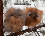 Ewoks In Owl Form