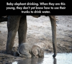 Baby Elephant Drinking When They Are