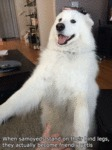 When Samoyeds Stand On Their....