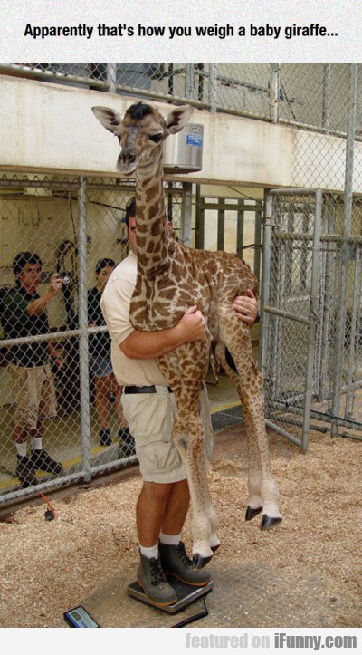 Apparently That's How You Weigh A Baby Giraffe...