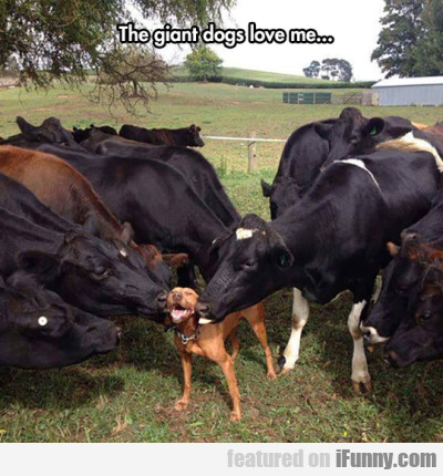 The Giant Dogs Love Me...