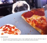 The Pug's Most Feared Predator Is Pizza..