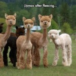 Llamas After Fleecing...
