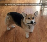 My Aunt's Corgi Steals Things...