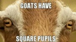 Goats Have Square Pupils...