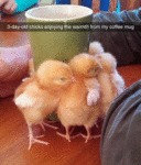 3 Day Old Chicks...