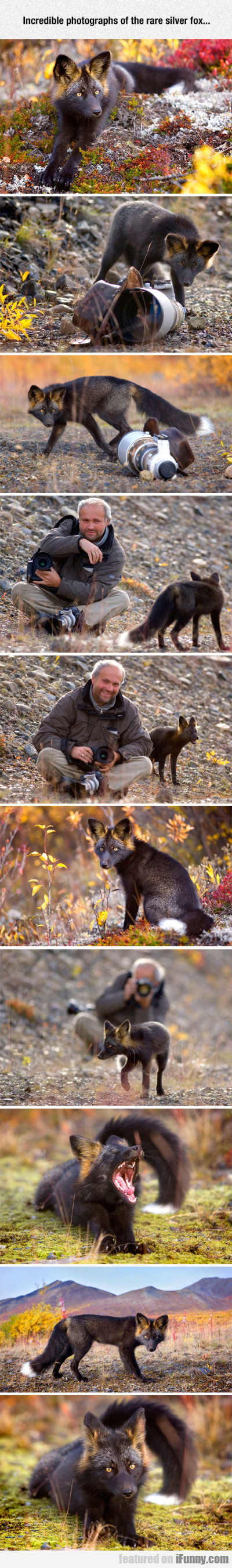 Incredible Photographs Of The Rare Silver Fox...