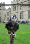Britain's Smuggest Owl...