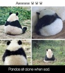 Pandas Sit Alone When Sad.