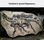 Fossilized Stegosaurus...