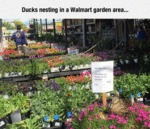 Ducks Nesting In A Wal-mart Garden...