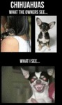 Chihuahuas What The Owners See