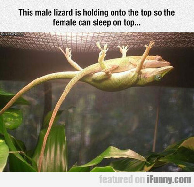 This Male Lizard...