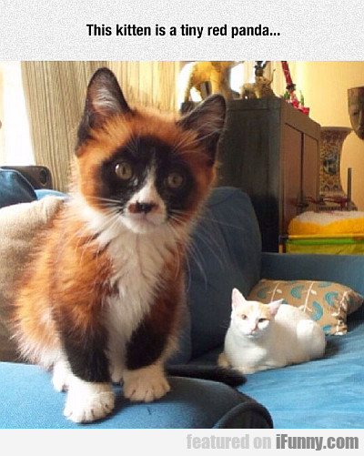 this kitten is a tiny red panda