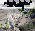 Sand Cats Retain A Kitten-like Appearance