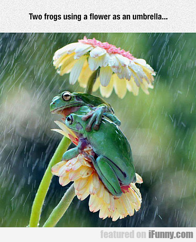 two frogs using a flower as an umbrella