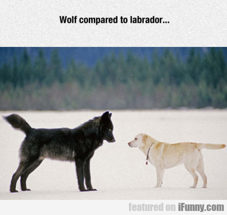 Wolf Compared To Labradore