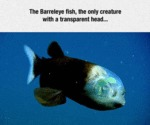 The Barrekeye Fish