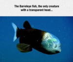 The Barreleye Fish...