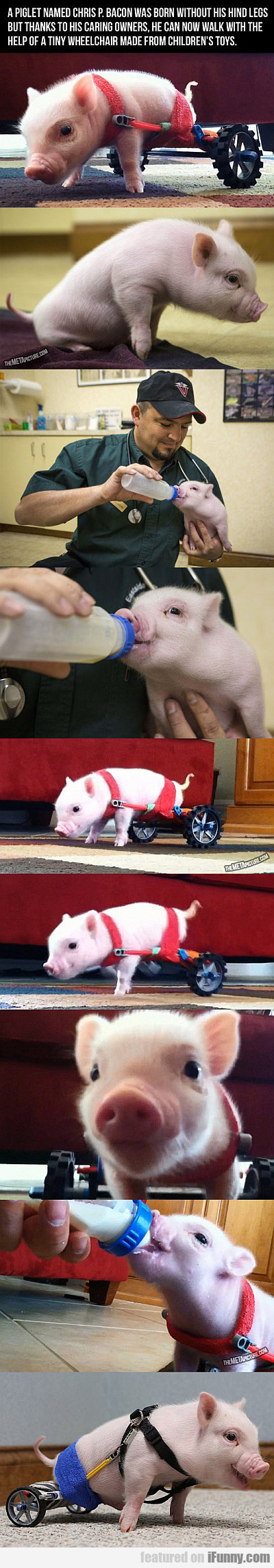 a piglet named chris p. bacon was born