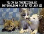 You Can Buy Tame Foxes Online...