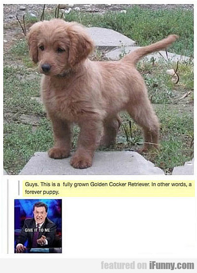 Guys This Is A Fully Grown Golden Cocker Retriever