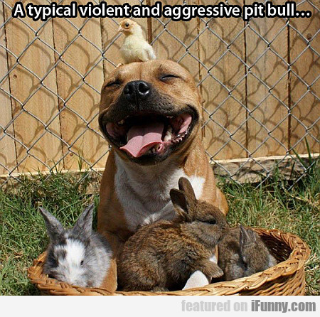 a typical violent and aggressive pit bull...