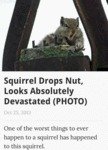 Squirrel Drops Nut...