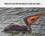 When The Sun Hits The Pelican's Beak...