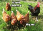 Are You A Chicken, Why Yes
