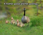 A Mother Goose And Her Goslings...
