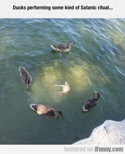 Ducks Performing Some Kind Of Satanic