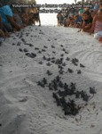 Volonteers Form A Human Wall To Guide Baby Turtles