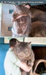 At 30, Patrick Is The Oldest Living Wombat...