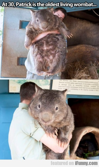 At 30 Patrick Is The Oldest Living Wombat..