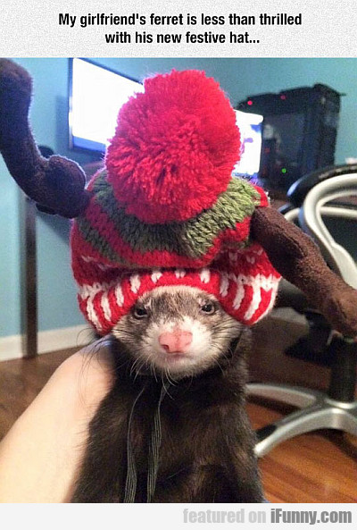 my girlfriend's ferret is less than thrilled...