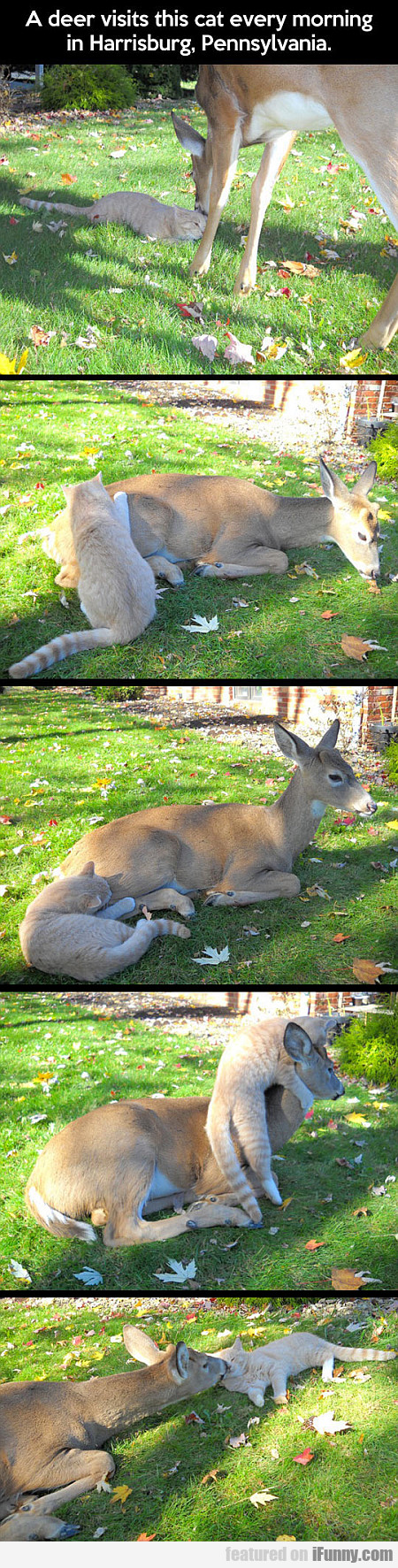 A Deer Visits This Cat Every Morning...