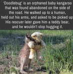 Doodlebug Is An Orphaned Baby Cangaroo