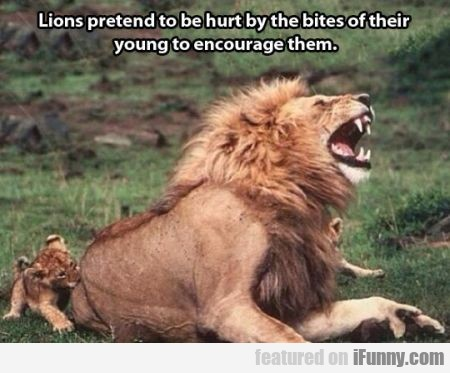 Lions Pretend To Be Hurt By The Bites