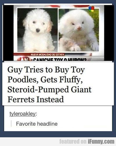 Guy Tries To Buy Toy Poodles...