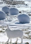 These Are Called Arctic Hares...