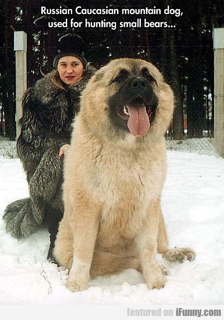 Russian Caucasian Mountain Dog, Used For Hunting