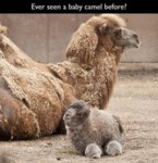 Ever Seen A Baby Camel Before