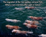 The Migration Of The Rare Golden Retriever