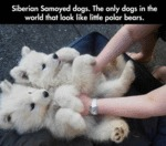 Siberian Samoyed Dogs