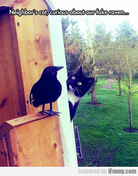 Neighbor's Cat, Curious About Our Fake Raven...